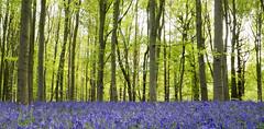 Thursday in Bluebell Woods (DaveKav) Tags: bluebell bluebells blue a614 clumberpark nottinghamshire woodland trees woods sherwoodforest
