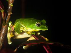 Malabar Gliding Frog   Western Ghats (Aranya Sen (bangalore)) Tags: amboli closeup forest jungle macro maginified magnify maharashtra microscopic photomacrography photomicrography rainforest westernghats india in