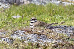 Killdeer (David Badke) Tags: oakbay bc bird