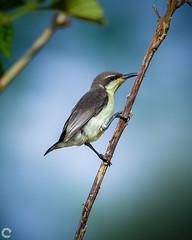 Purple Sunbird - Female (raveclix) Tags: raveclix india incredibleindia canon sigma canon5dmarkiii sigma150500mmf563apodgoshsm jakkurlake jakkur bangalore birds purplesunbird female cinnyrisasiaticus