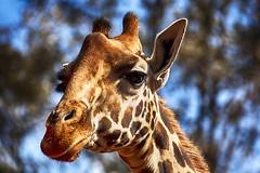 giraffe 9 (photoautomotive) Tags: giraffecentre nairobi eastafrica kenya giraffe rothschildsgiraffe head sky trees ears neck long tall animal pattern endangered jocklesliemelville startedin1979 canon 5dc eyelashes canon35350l