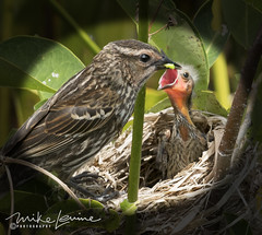 DSC_4516 (mikeyasp) Tags: redwingedblackbird birds avian nests nesting feeding babies nature outdoors female momabird