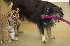 cub and nanny (ucumari photography) Tags: ucumariphotography cincinnati ohio zoo april 2017 tiger cub dog canine animall mammal
