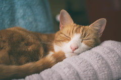 Fresh towels out of the dryer (cuppyuppycake) Tags: ginger cat fresh towels dryer catnap sleepy tired relaxing sunday herbie animal indoors bathroom cozy