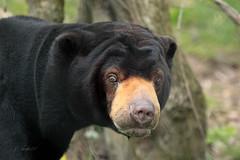 Honey Bear (K.Verhulst) Tags: honeybear sunbear maleisebeer bears bear beren beer honingbeer ouwehandsdierenpark ouwehands rhenen