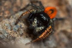 Philaeus chrysops ♂ (Jerome Picard) Tags: salticidae salticidé salticide araignéesauteuse arai spider jumpingspider arthropoda arachnid philaeus france