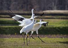 A Little Whoopin' It Up (maryanne.pfitz) Tags: whoopingcrane grusamericana crane bird marshbird wildlife walking feeding gleaning skipping woodcounty wisconsin mapwc8857 maryannepfitzinger
