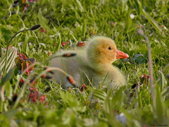 Gosling (Corine Bliek) Tags: gansjes geese ganzen soepganzen klein small bird birds vogels vogel parks parken jongen cute anseranserformadomestica newborn young spring voorjaar lente