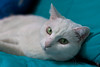 IMG_2464 (VikingAle) Tags: cat funny funnycat white whitecat green eyes greeneyes blue couch bluecouch