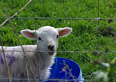 Cheeky (Blue Sky Pix) Tags: lamb cheeky eating countryside cute birchover derbyshire peak district national park england pentax
