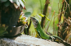 Green Lizard (young male) posing (Inka56) Tags: hbw 7dwf lizard closeup