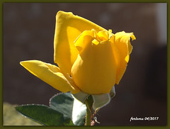 Almería 16 rosa (ferlomu) Tags: almeria andalucia ferlomu flor flower rosa