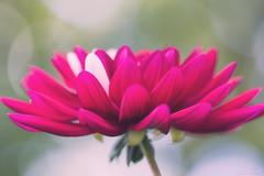 Mothersday is Flowersday :) (Deirdre MagMa) Tags: dahlia mothersday moederdag mama flower bloem deirdre deirdremoments canon7dmarkii macro