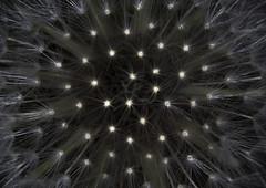 Illusion (lkiraly72) Tags: plant dandelion illusion macro bw