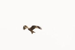 Red Kite (Milvus milvus) (Baldyal) Tags: red kite raptor bif bird prey wildlife venus pool shropshire