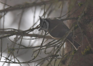 Mésange huppée / European Crested Tit