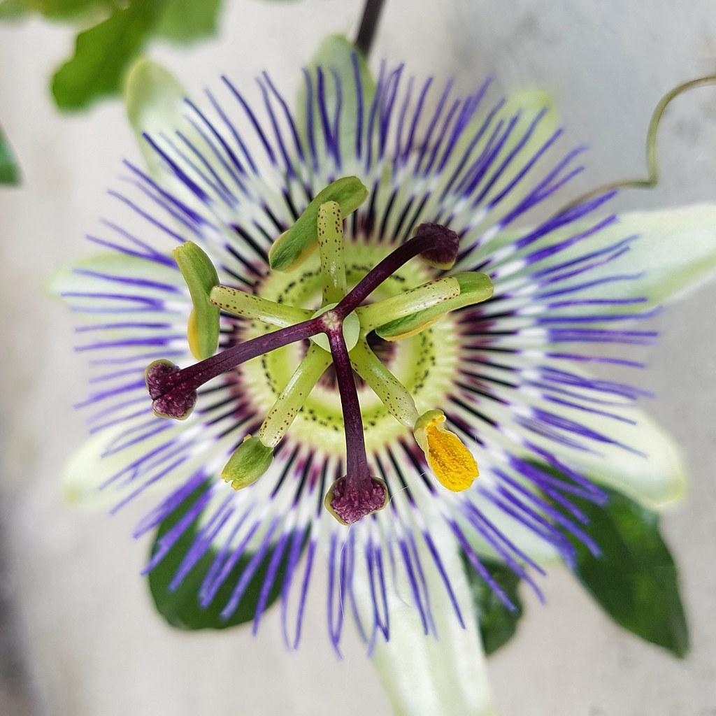 147d987af Passiflora o fiore della passione  non è che sia così bello ma è  sicuramente particolare