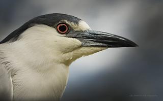 Bihoreau Gris / Black-crowned Night Heron  / Nycticorax nycticorax