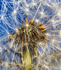 Make a wish (AspirePhotography1) Tags: flower wishes wish plamt seed dandelion nature