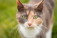 Cats in the wild. (rudi.verschoren) Tags: cats animals pet house cat wild outdoor green grass country landscape canon 70d 50 mm eos europe europa