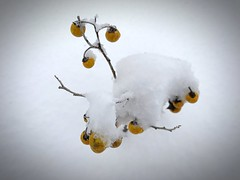 """""""Snow Berries"""" Tiny fruit like berries cling to their frail stems in a recent Spring snow storm in the Central Highlands of New Mexico. Cold Temperature Snow Close-up Beauty In Nature Berries Snowstorm Springsnow Frail Nature Newmexicophotography Newmexic (bradhodges09) Tags: coldtemperature snow closeup beautyinnature berries snowstorm springsnow frail nature newmexicophotography newmexico snowcovered snow❄ snowday❄"""