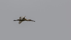 IMG_2508.jpg (didier.guieu) Tags: france parcsnaturels nature saintquentinentourmont spatuleblanche oiseau animaux picardie marquenterre localisation europe echassier lasomme location