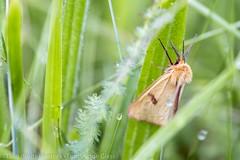 Bordure ensanglantée - Clouded Buff (dom67150) Tags: papillon butterfly insecte insect bordureensanglantée ecailleroussette cloudedbuff diacrisiasannio moth
