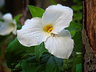 Trille blanc / White trillium / Trillium grandiflorum