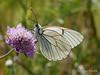 Aporia crataegi (horacosta) Tags: borboleta pieridae aporia crataegi butterfly