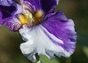 DSC08624 (Shutter_Hand) Tags: texas usa miguelmendozamuñoz clarkgardens botanicalpark weatherford mineralwells secretgarden parquebotánico jardinbotánico botanico jardin jardinsecreto texasgem texasjewel lenscraft sonyaf100mmf28macro macro sony alpha a99 sonyalphaa99 slta99 flor flower fleur iris flordelis