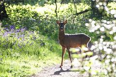 Roebuck (TuKJo) Tags: deer roe buck spring woods woodland mammal bluebells early morning wildlife photography nature lancashire trust