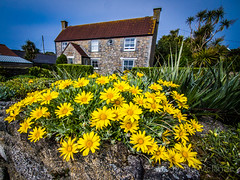 Cottage Yellow flowers Tresco 17 (davidmcbridephotography) Tags: red tresco gardens isles scilly cornwall united kingdom sea water flowers exotic plants succulents escapees landscape sky olympus mcbride dynamic portrait travel holiday destination estate flower beautiful bright vivid yellow blue