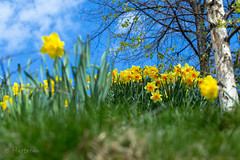 Spring Flowers (Hattrem72) Tags: canon 6d 70200mm flower sun city color cloud river relaxing akerselva oslo nature sky spring trees plants