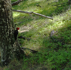 Day 3: Magellanic woodpecker (Campephilus magellanicus) in deep Patagonian woods (Northern Adventures) Tags: argentina patagonia summer december adventure nature scenic scenery trip outdoor outdoors trail path footpath hike hiking walk walking trek trekking track tracking backpacking journey sun sunny landscape serene tranquil tranquility serenity losglaciares glaciers nationalpark los glaciares campephilusmagellanicus campephilus magellanicus tree trees woods forest bird redhead red head magellanicwoodpecker magellanic woodpecker