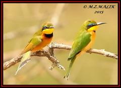 PAIR OF LITTLE BEE-EATERS (Melittophagus pusillus).....NAIROBI NAT PARK....SEPT 2015. (M Z Malik) Tags: nikon d3x 200400mm14afs kenya africa safari wildlife nairobinatpark exoticafricanwildlife exoticafricanbirds