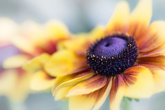 good day, sunshine (Mr. Greenjeans) Tags: echinacea