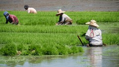Ricefields, Philippines (ontheraks (attempting to be resurrected here...)) Tags: rice ricefields agriculture farmers livelihood philippines farm workers paddy wet muddy seedlings traditional planting labor raquelbagnolphotos green plant food grain panasonic lumix g7