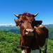Glückliche Kuh / Happy cow