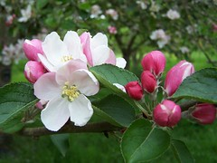 Apple Blossom (ERIK THE CAT Struggling to keep up) Tags: derrington blossom staffordshire apple doublefantasy ngc npc