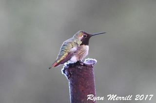 Anna's x Rufous Hummingbird