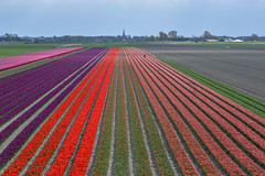 Bird view (powerfocusfotografie) Tags: agriculture tulips red purple outdoors henk nikond7200 powerfocusfotografie