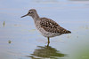 Wood sandpiper (Shane Jones) Tags: woodsandpiper sandpiper wader bird migrant wildlife nature nikon d500 200400vr tc14eii