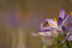 Crocus and Bee (Stefan Zwi.) Tags: flower crocus krokus biene bee insect insekt offenblende macro makro samyang 135mm sony ilce7 a7 ngc npc