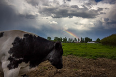 Rainbow (matyasgyenes) Tags: cows cow animal rain rainbow storm weather cloud clouds field polder spring evening belgium belgie beveren beverenwaas belgië belgique t3i be melsele rebel sky skyline outdoor sun sunset lights light lowlight color colors colorfull lightroom landscape nature natuur canon