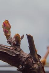 Neuanfang (grundi1) Tags: sony alpha 68 sigma 1770 f2845 dc macro neuanfang knospen ilca68 a68 bud spring frühling growing blätter leaves nature