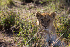 The problem with being a wild cat is..... (Ring a Ding Ding) Tags: 2017 africa bigcat kenya kitcheche lion maasimara pantheraleo cat cub injury nature predator safari wildcat wildlife narokcounty coth ngc
