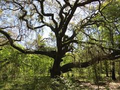 IMG_0231 (rpealit) Tags: scenery wildlife nature paynes prairie preserve state park live oak