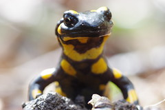 Feuersalamander (Aah-Yeah) Tags: feuersalamander firesalamander salamandra caudata salamander achental chiemgau bayern