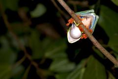 Agalychnis callidryas (Bigeyesworld.com) Tags: costarica wild crarc centralamerica agalychnis callidryas hylids treefrog frogs