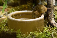 Harvest mouse drinking | Horniman Museum | May 2017 (Paul Dykes) Tags: hornimanmuseum museum sydenham london england uk museums harvestmouse micromysminutus mouse animals